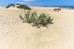 Μικρός θάμνος ευρύ Dunas de Corralejo, Fuerteventura Στοκ εικόνα με δικαίωμα ελεύθερης χρήσης