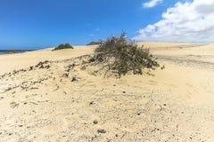 Μικρός θάμνος ευρύ Dunas de Corralejo, Fuerteventura Στοκ Φωτογραφία