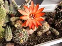 Μικρός κάκτος με το κόκκινο λουλούδι Στοκ Εικόνες