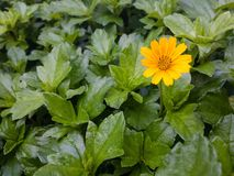 μικρός κίτρινος λουλουδιών στοκ εικόνες