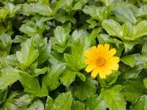 μικρός κίτρινος λουλουδιών Στοκ φωτογραφία με δικαίωμα ελεύθερης χρήσης