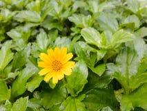 μικρός κίτρινος λουλουδιών Στοκ Φωτογραφία