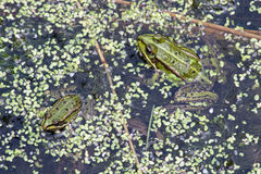 Μικρός και μεγάλος βάτραχος Στοκ φωτογραφία με δικαίωμα ελεύθερης χρήσης