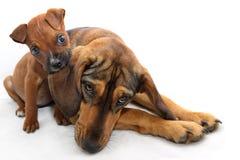 Μικρός καφετής μπόξερ που δαγκώνει το αυτί ενός μεγάλου σκυλιού Στοκ Εικόνα