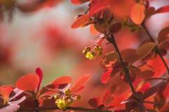 Μικρός κόκκινος θάμνος άνοιξη φύλλων Στοκ Εικόνες