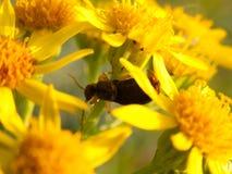 Μικρός λίγος κάνθαρος στα κίτρινα λουλούδια έξω από στενό επάνω Στοκ εικόνες με δικαίωμα ελεύθερης χρήσης