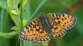 Μικρός μαργαριτάρι-οριοθετημένος fritillary ή ασημένιος-οριοθετημένος fritillary πεταλούδων απόθεμα βίντεο