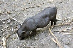 Μικρός μαύρος χοίρος στο πάρκο της φυτείας μπαμπού Anduze Στοκ Φωτογραφία