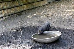 Μικρός μαύρος χοίρος στο πάρκο της φυτείας μπαμπού Anduze Στοκ Φωτογραφίες