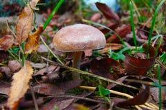 Μικρός μη φαγώσιμος μύκητας Στοκ εικόνα με δικαίωμα ελεύθερης χρήσης