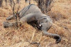 Μικρός νεκρός ελέφαντας στο εθνικό hwankee πάρκων, Μποτσουάνα Στοκ Εικόνες
