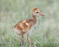 Μικρός νεοσσός γερανών Sandhill Στοκ Φωτογραφία