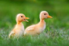 Μικρός νεοσσός δύο στην πράσινη χλόη Στοκ εικόνα με δικαίωμα ελεύθερης χρήσης