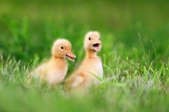 Μικρός νεοσσός δύο στην πράσινη χλόη Στοκ φωτογραφία με δικαίωμα ελεύθερης χρήσης