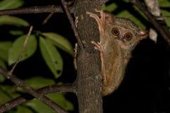 Μικρός νυκτερινός πίθηκος Tarsius Στοκ Φωτογραφίες