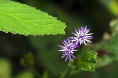 Μικρός-λουλούδι που διακρίνεται στο υπόλοιπο του ατλαντικού δάσους Στοκ φωτογραφίες με δικαίωμα ελεύθερης χρήσης