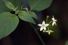 Μικρός-λουλούδι που διακρίνεται στο υπόλοιπο του ατλαντικού δάσους Στοκ Φωτογραφίες
