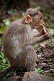 Μικρός πίθηκος που τρώει τα τρόφιμα στο δάσος μπαμπού. Ινδία Στοκ Φωτογραφίες