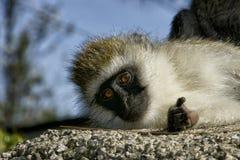 Μικρός πίθηκος που φαίνεται κεκλεισμένων των θυρών Στοκ φωτογραφία με δικαίωμα ελεύθερης χρήσης