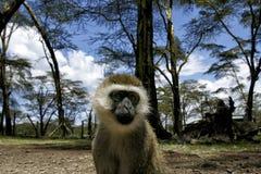 Μικρός πίθηκος που φαίνεται κεκλεισμένων των θυρών Στοκ εικόνες με δικαίωμα ελεύθερης χρήσης