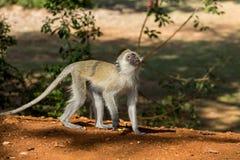 Μικρός πίθηκος στην άγρια φύση της Αφρικής Στοκ φωτογραφία με δικαίωμα ελεύθερης χρήσης