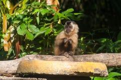 Μικρός πίθηκος στην παλαμίδα, Pantanal, Βραζιλία Στοκ Φωτογραφίες