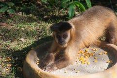Μικρός πίθηκος στην παλαμίδα, Pantanal, Βραζιλία Στοκ Φωτογραφία
