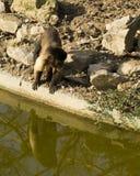 Μικρός πίθηκος στο βιότοπο Στοκ εικόνα με δικαίωμα ελεύθερης χρήσης