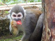 Μικρός πίθηκος στο ζωολογικό κήπο amazonon Στοκ Φωτογραφία