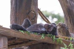 Μικρός πίθηκος χιμπατζών Στοκ φωτογραφία με δικαίωμα ελεύθερης χρήσης