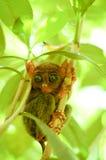 Μικρός πιό tarsier στον κλάδο δέντρων Στοκ Φωτογραφίες