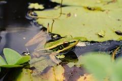 μικρός πράσινος βάτραχος  βάτραχος δέντρων Στοκ Εικόνες