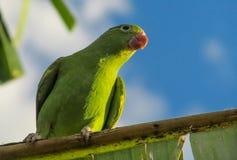 Μικρός πράσινος ζωηρόχρωμος παπαγάλος στην άγρια φύση Στοκ Εικόνα