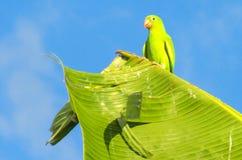 Μικρός πράσινος ζωηρόχρωμος παπαγάλος στην άγρια φύση Στοκ εικόνα με δικαίωμα ελεύθερης χρήσης