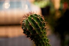 Μικρός πράσινος κάκτος Στοκ Φωτογραφίες