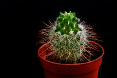 Μικρός πράσινος κάκτος Mammillaria σε ένα δοχείο στοκ φωτογραφίες με δικαίωμα ελεύθερης χρήσης