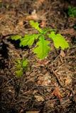 Μικρός δρύινος νεαρός βλαστός δέντρων στοκ φωτογραφία με δικαίωμα ελεύθερης χρήσης