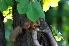 Μικρός σκίουρος κάτω από το φύλλο Στοκ εικόνα με δικαίωμα ελεύθερης χρήσης