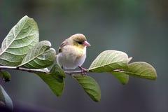 Μικρός σπόρος που τρώει τη συνεδρίαση πουλιών σε έναν κλάδο στοκ φωτογραφίες με δικαίωμα ελεύθερης χρήσης