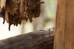 Μικρός στρατός των κόκκινων καμποτζιανών μυρμηγκιών στον πόλο Στοκ φωτογραφία με δικαίωμα ελεύθερης χρήσης