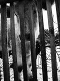 Μικρός ταύρος πίσω από το φράκτη στοκ εικόνες