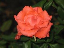 Μικρός υγρός πορτοκαλής αυξήθηκε λουλούδι Στοκ εικόνες με δικαίωμα ελεύθερης χρήσης