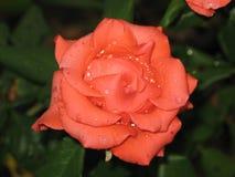 Μικρός υγρός πορτοκαλής αυξήθηκε λουλούδι Στοκ Εικόνες
