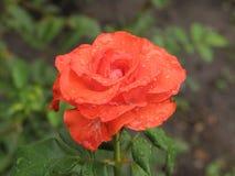 Μικρός υγρός πορτοκαλής αυξήθηκε λουλούδι Στοκ Φωτογραφία