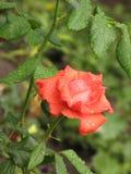 Μικρός υγρός πορτοκαλής αυξήθηκε λουλούδι Στοκ Φωτογραφίες
