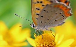 Μικρός χαλκός στο χρυσό λουλούδι μενταγιόν Στοκ εικόνες με δικαίωμα ελεύθερης χρήσης