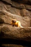 Μικρός χρυσός πίθηκος Στοκ Φωτογραφία