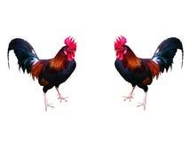 Μικρόσωμα όμορφα φωτεινά χρώματα πουλερικών Στοκ Φωτογραφία