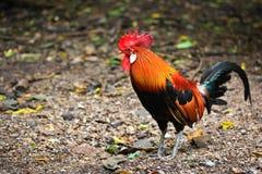 Μικρόσωμο κοτόπουλο Στοκ Εικόνα