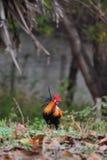 Μικρόσωμο κοτόπουλο Στοκ Φωτογραφίες